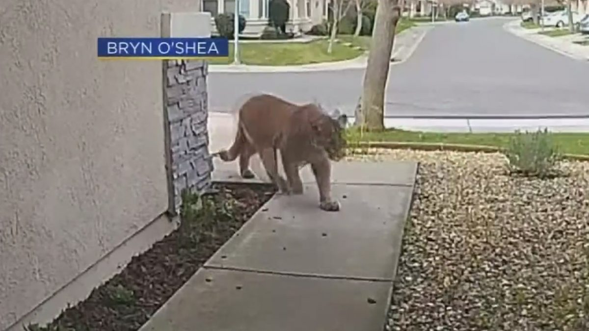 Citrus Heights Resident Describes Being Visited By Mountain Lion  CBS Sacramento [Video]