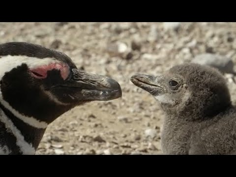 How One Penguin Started a Whole Colony | Close Encounters | BBC Earth [Video]