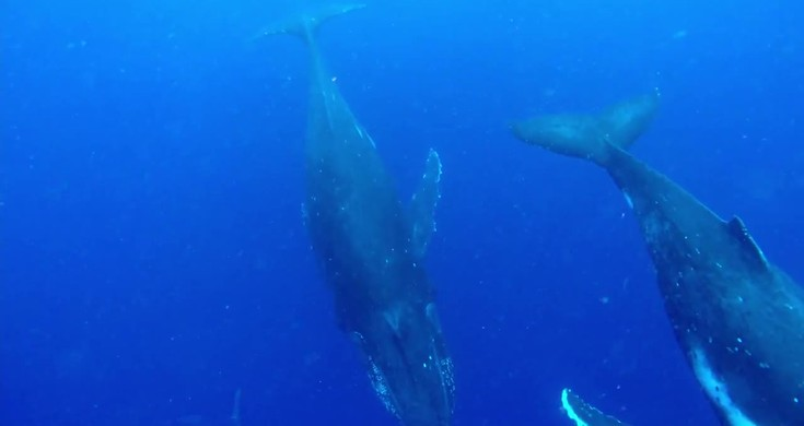 Pod of humpback whales swim under surprised swimmers in Tonga – Videos [Video]