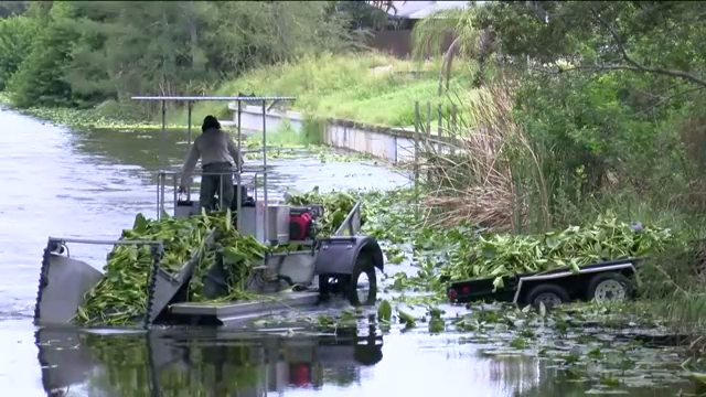 Lee County officials working to reduce plants clogging Cape Coral canals [Video]