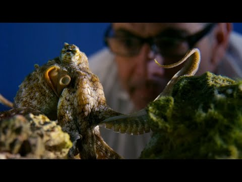 Can Octopuses Recognise People?   Octopus In My House   BBC Earth [Video]