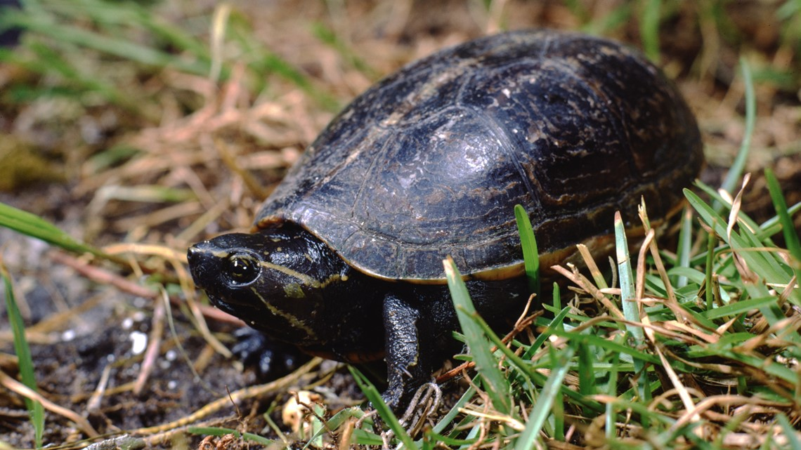 Endangered species commonly trafficked in Florida [Video]