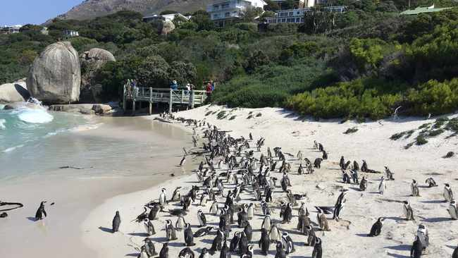 African Penguin Awareness Day: Do your bit to help save these gorgeous creatures [Video]