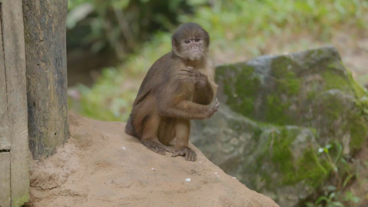 The man protecting hundreds of endangered animals from traffickers in Peruvian Amazon  Channel 4 News [Video]