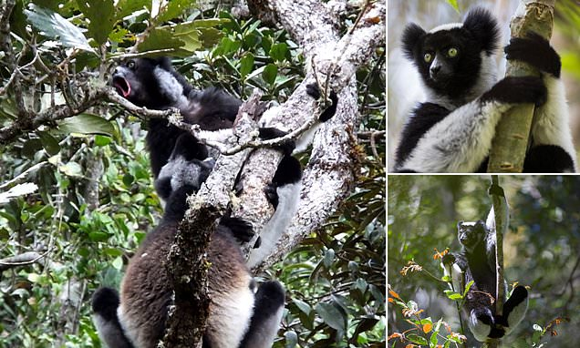 Rhythm: 'Singing' lemurs in Madagascar have a natural ability to keep a beat just like humans [Video]