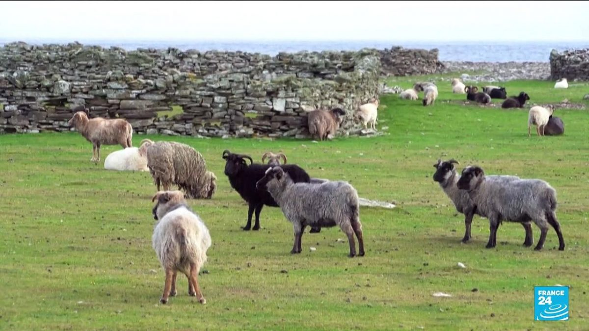 Climate change: Orkney's seaweed-eating sheep [Video]